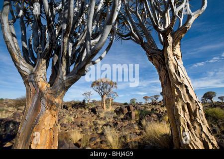 Faretra Tree (Aloe dichotoma) foresta vicino a Keetmanshoop in Namibia Foto Stock