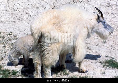 Capre di montagna Nanny e Kid (Oreamnos americanus) pascolo a leccare il minerale, Kootenay National Park, BC, British Foto Stock