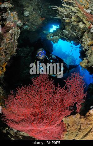 Subergorgia sp., subacqueo in immersione in caverna con gorgonie rosse ventilatore, Nationalpark Menjangan, Bali, Foto Stock