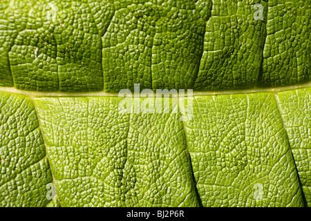 Macro di foglie di dettaglio Foto Stock