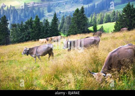 Paesaggio delle Alpi con vacche su un campo. Foto Stock