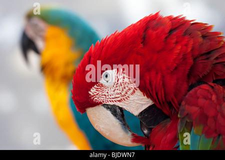 Verde-winged macaw con una offuscata blu e giallo parrot in background Foto Stock