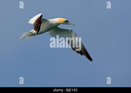 Northern gannet (Morus bassanus / Sula bassana) in volo sopra il mare del Nord, England, Regno Unito Foto Stock