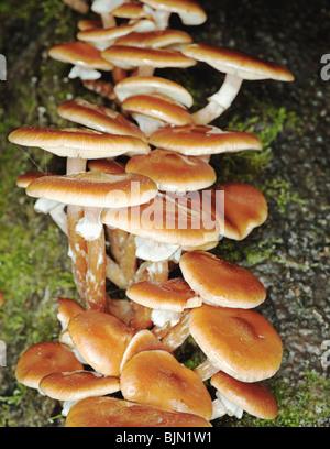 Close up di miele di funghi che crescono su log di Cariati Foto Stock