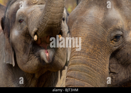Due elefanti indiani Foto Stock