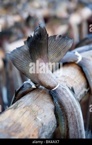Dettaglio di essiccazione di cod per produrre stoccafisso tradizionale su rack all'aperto nelle Isole Lofoten in Foto Stock