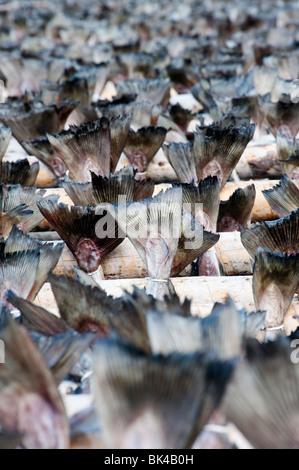 Essiccamento cod per produrre stoccafisso tradizionale su rack all'aperto nelle Isole Lofoten in Norvegia Foto Stock