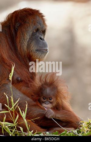 Orangutan e 6 mesi di età bambino in cattività, Rio Grande Zoo di Albuquerque, Nuovo Messico, STATI UNITI D'AMERICA Foto Stock