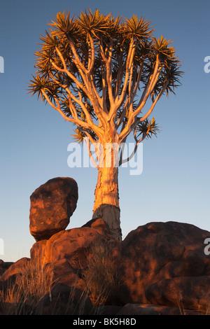 Faretra tree (Aloe dichotoma), Quiver tree forest, Keetmanshoop, Namibia, Africa Foto Stock