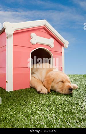 Il Labrador cucciolo addormentato in canile Foto Stock