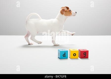 Jack Russell cucciolo e blocchi di costruzione del cane per il controllo ortografico Foto Stock