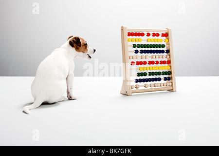 Jack Russell cucciolo con abacus Foto Stock