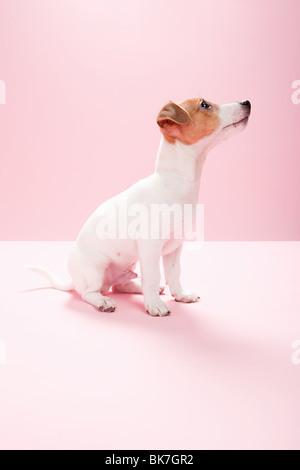 Jack Russell cucciolo Foto Stock