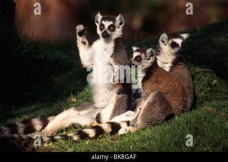 Anello-tailed Lemur (Lemur catta) crogiolarsi al sole, Madagascar, Africa Foto Stock