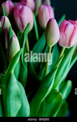 Close up di un mazzo di tulipani rosa su sfondo nero Foto Stock