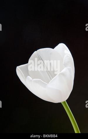 White Tulip flower su sfondo nero Foto Stock