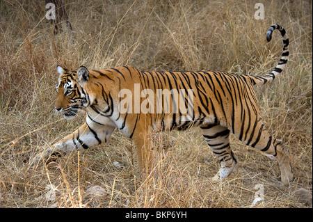 Femmina di tigre del Bengala, Panthera tigri, passante a piedi erba secca Ranthambore NP, India
