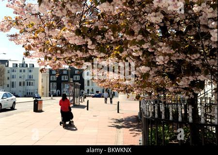 La fioritura dei ciliegi in fiore in centro città di Brighton a primavera tempo REGNO UNITO Foto Stock
