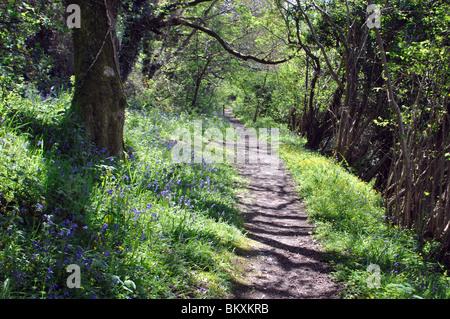 Bluebell boschi, Welsh Wildlife Center, Cilgerran, Pembrokeshire, Wales, Regno Unito Foto Stock