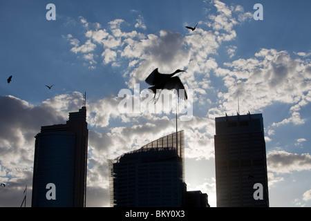 Le volpi volanti e un australiano White Ibis battenti nella parte anteriore del centro cittadino di Sydney tower Foto Stock