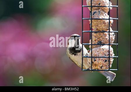 Passer domesticus. Maschio di casa passero alimentazione su un suet alimentatore a sfera Foto Stock