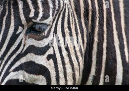 Chapmans Zebra, Ritratto, Equus quagga capmani