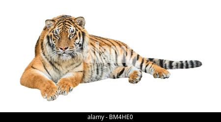 Tigre Siberiana (Panthera tigris altaica) isolato su sfondo bianco Foto Stock