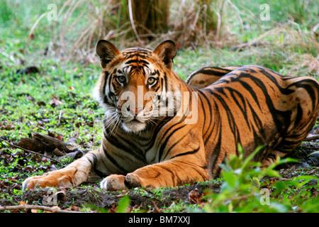 Il Royal tigre del Bengala (Panthera tigris tigris), Bandhavgarh National Park, Madhya Pradesh, India, Asia Foto Stock