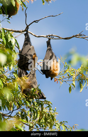 A testa grigia Flying Fox, Pteropus poliocephalus Giardini Botanici Sydney Australia Foto Stock
