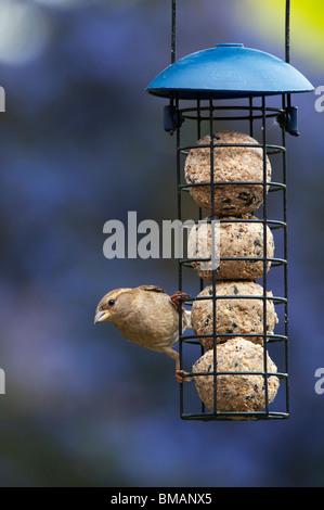 Passer domesticus. Femmina di casa passero alimentazione su un suet alimentatore a sfera Foto Stock
