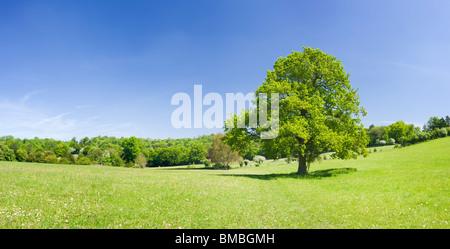Albero di quercia in campo, Ranmore comune, Surrey, Regno Unito Foto Stock