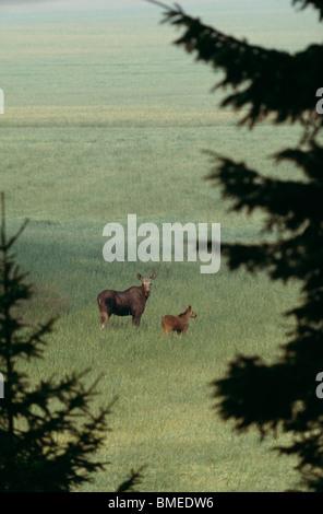 Elk con vitello in piedi in campo Foto Stock
