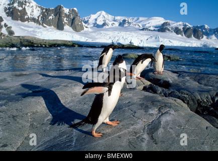 I pinguini di Gentoo, Peterman Island, Antartide Foto Stock