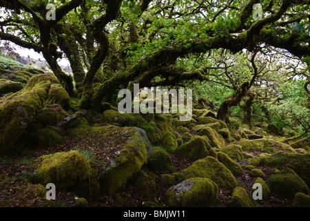 Antiche querce in legno Wistmans, Parco Nazionale di Dartmoor, Devon, Inghilterra Foto Stock