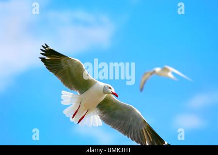 Seagull, volare in alto nel cielo blu sopra il lago Naivasha. L'Africa. Kenya Foto Stock