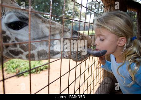 Africa, Kenya, Nairobi. Giraffa Rothschild dà ragazza a leccare con la sua lunga lingua al centro delle Giraffe. Foto Stock