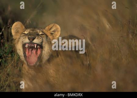 Africa, Kenia Masai Mara Game Reserve, Lion cub (Panthera leo) bares denti mentre sbadigli in erba alta in mattina Foto Stock