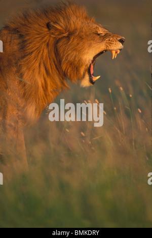 Kenia Masai Mara Game Reserve, maschio adulto Lion (Panthera leo) bares denti mentre sbadigli in erba alta sulla Foto Stock