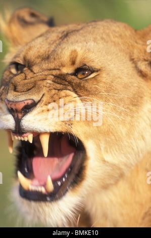 Kenia Masai Mara Game Reserve, Leonessa (Panthera leo) bares denti mentre sbadigli in erba alta sulla savana Foto Stock