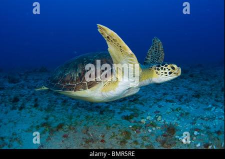 Femmina di tartaruga verde (Chelonia Mydas) alimentazione sulle alghe sott'acqua in Juno Beach, FL. Foto Stock