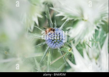 Il miele delle api su Eryngium x zabelii Jos Eijking mare holly in un paese di lingua inglese giardino