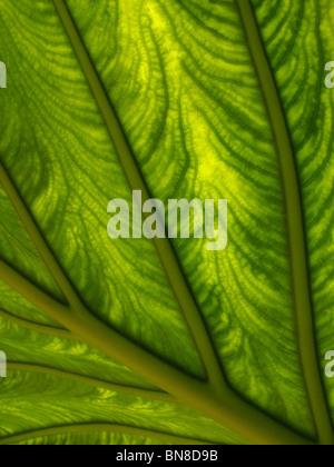 Ripresa macro di foglie di piante. La luce del sole che splende attraverso un impianto di foglia, mostrando dettagliate, Foto Stock