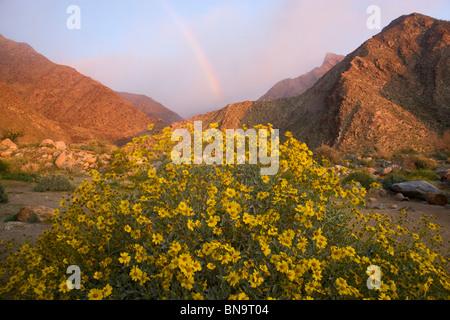 Fiori Selvatici in Borrego Palm Canyon, Anza-Borrego Desert State Park, California. Foto Stock