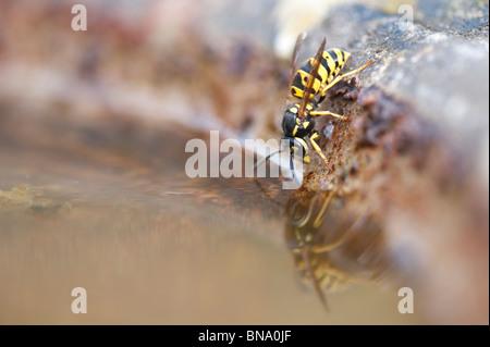 Bagno In Comune In Inglese : Vespula vulgaris. wasp comune. yellowjacket wasp bere da un bagno di
