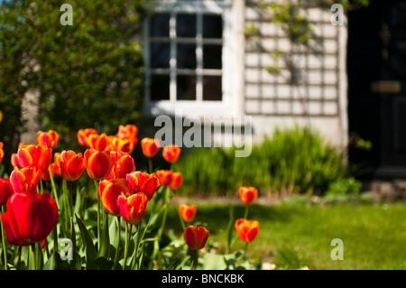 Cotswolds cottage in pietra con tulipani rossi nel giardino anteriore, Stroud, Gloucestershire, Cotswolds, REGNO UNITO Foto Stock