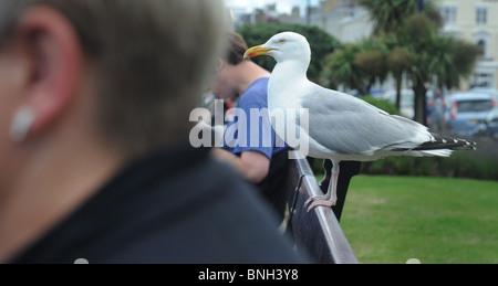 SEAGULL si appollaia su un banco di lavoro tra le persone a fronte di mare UK..... RE gabbiani gabbiano I gabbiani Foto Stock