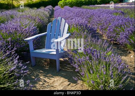 Una luce di colore blu sedia in legno nel mezzo di fioritura lavanda
