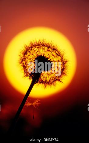 Close up di tarassaco andato alle sementi e tramonto Alaska Foto Stock