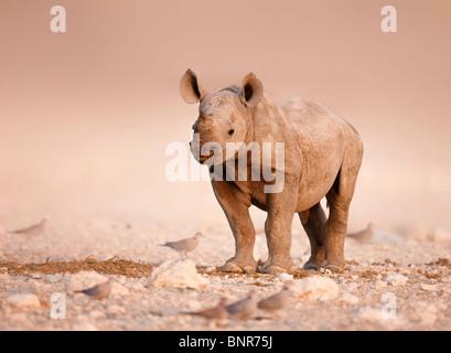 Baby Rinoceronte nero in piedi da solo sulle pianure salato di Etosha (Namibia) Foto Stock