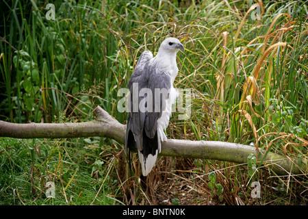 White-Bellied Sea Eagle, Haliaeetus leucogaster, Accipitridae, Accipitriformes, India, Sud-est asiatico e Australia.